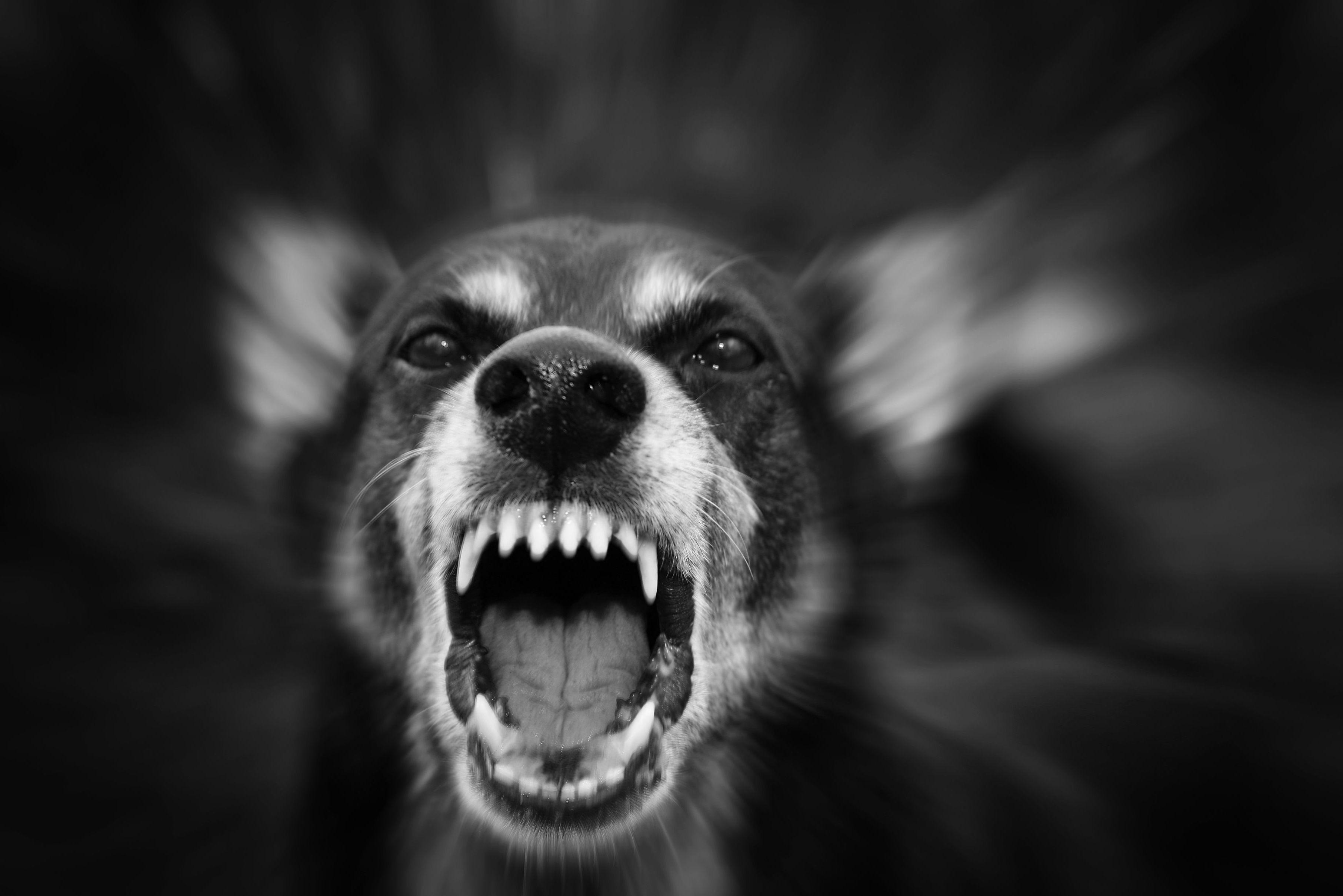 ¿No oyes ladrar los perros?